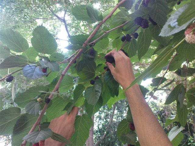 mulberries6