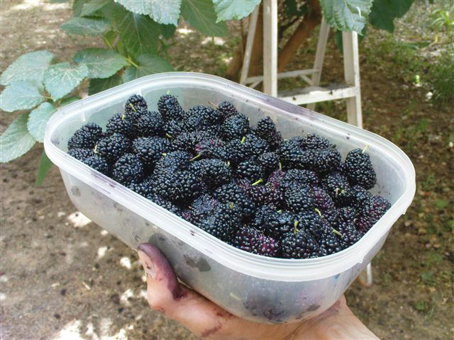 mulberries7