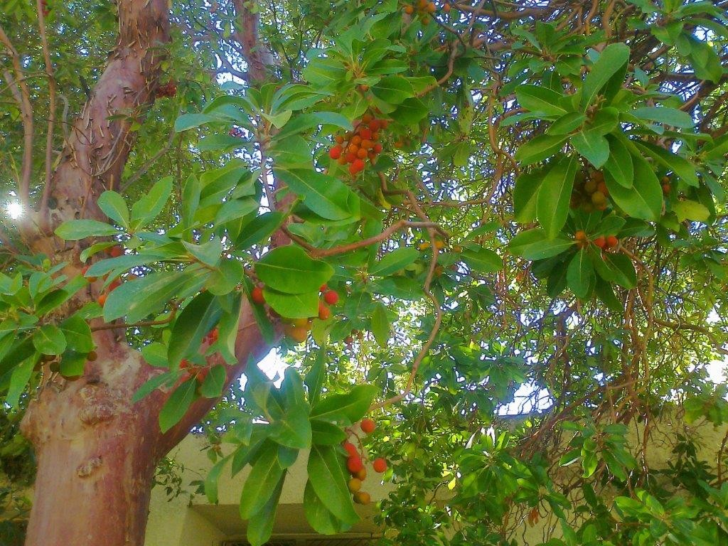 strawberry-tree-5