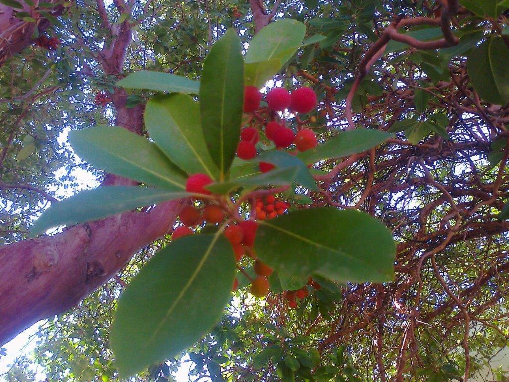 פרי הקטלב