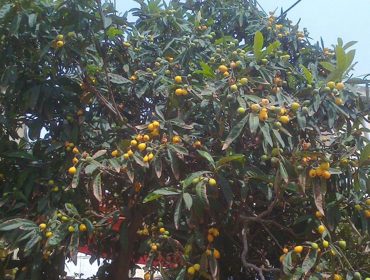 it-is-time-for-loquat-1