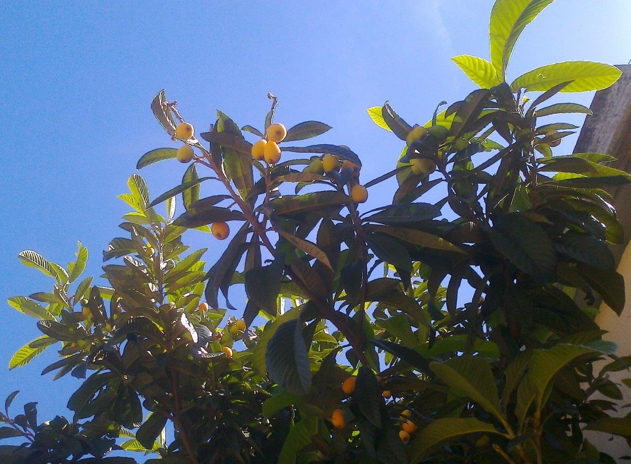it-is-time-for-loquat-2