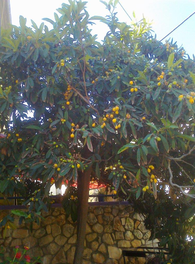 it-is-time-for-loquat-3