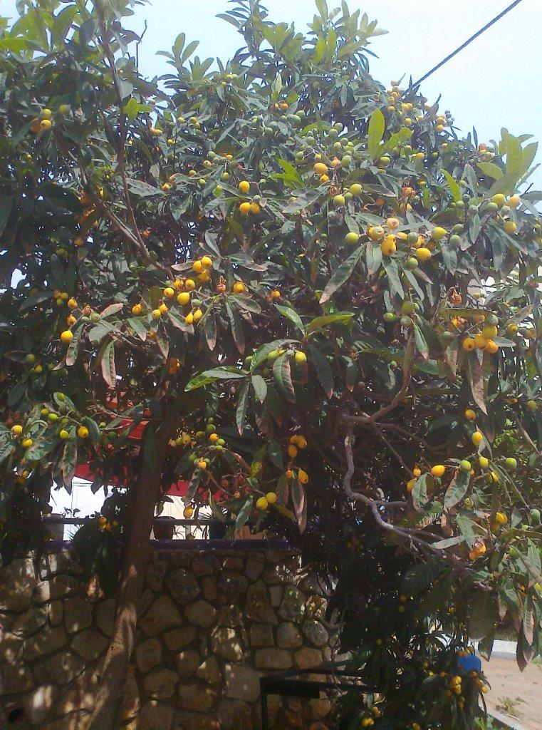 it-is-time-for-loquat-4
