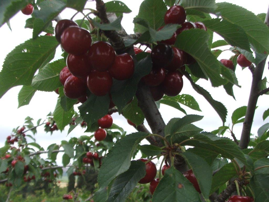 cherry-picking-1
