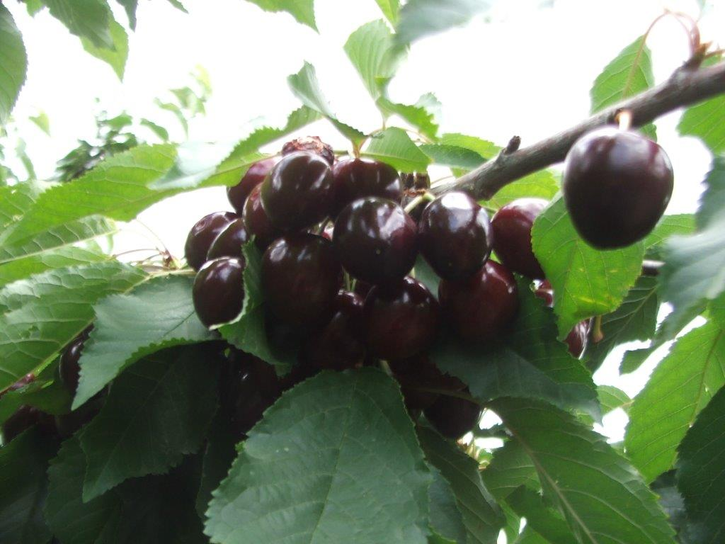 cherry-picking-2