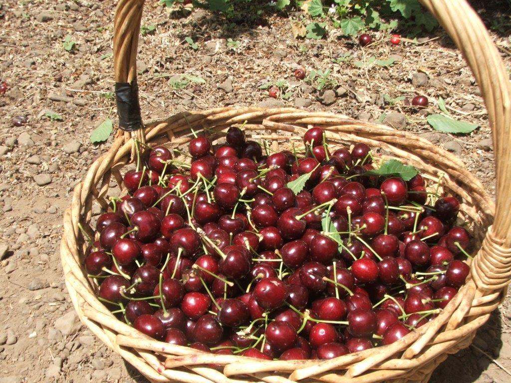 cherry-picking-6